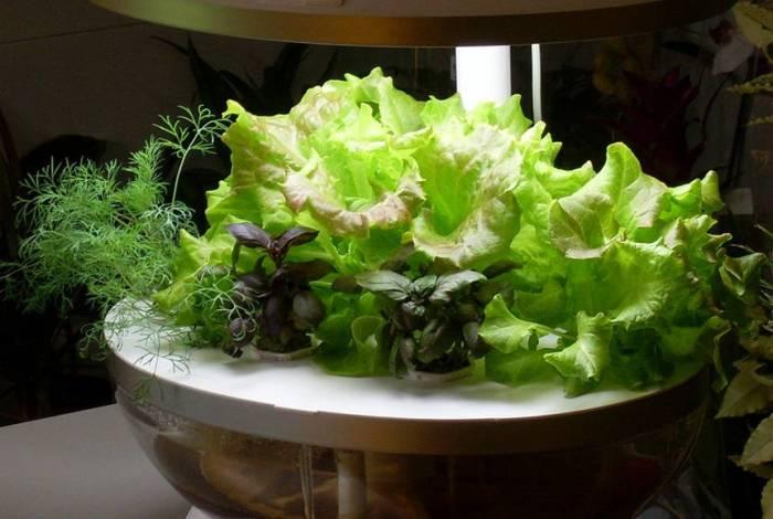 Выращивание салат на гидропонике 682