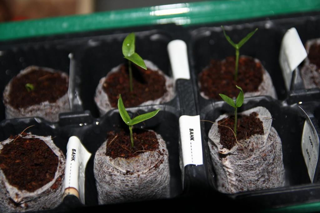 Семена болгарский перец гидропоника как сохранять марихуану