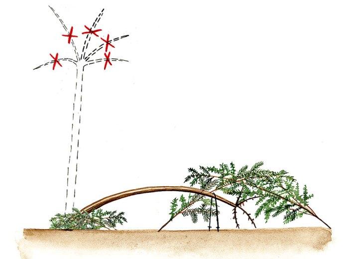 Метод тренировки растений - пригибание