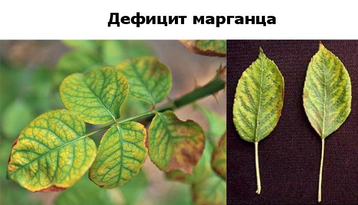 Дефицит марганца у растений