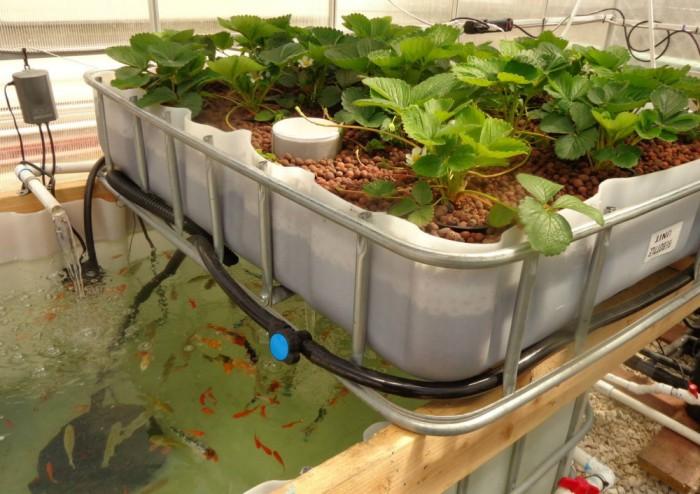 Выращивание растений на аквапонике в домашних условиях