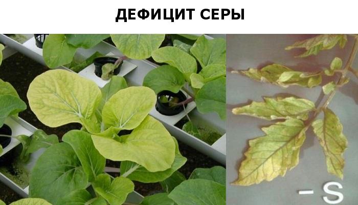 Недостаток серы у растений