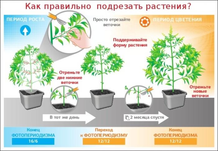 Тренировка растений - метод подрезки