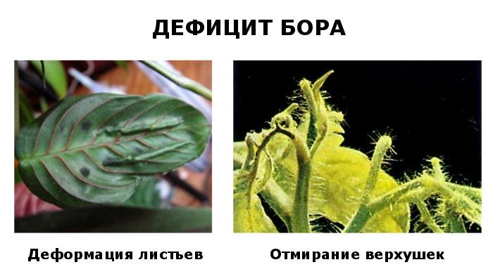 Значение бора в жизни растения - дефицит и избыток