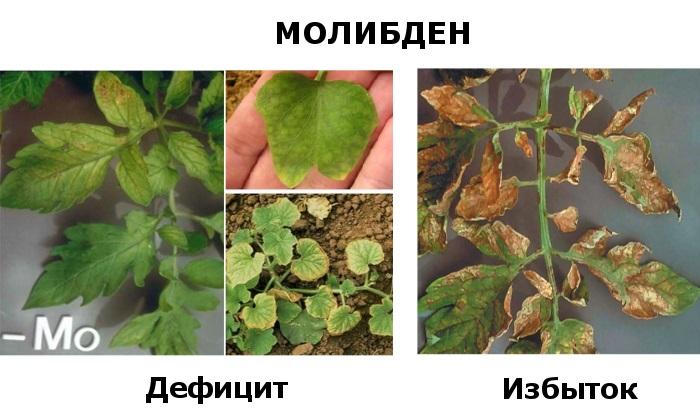 Молибден для растений - дефицит и избыток
