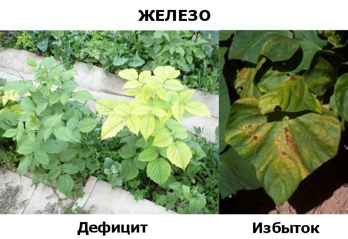 Железо для растений - дефицит и избыток
