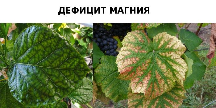 Нехватка магния растениям